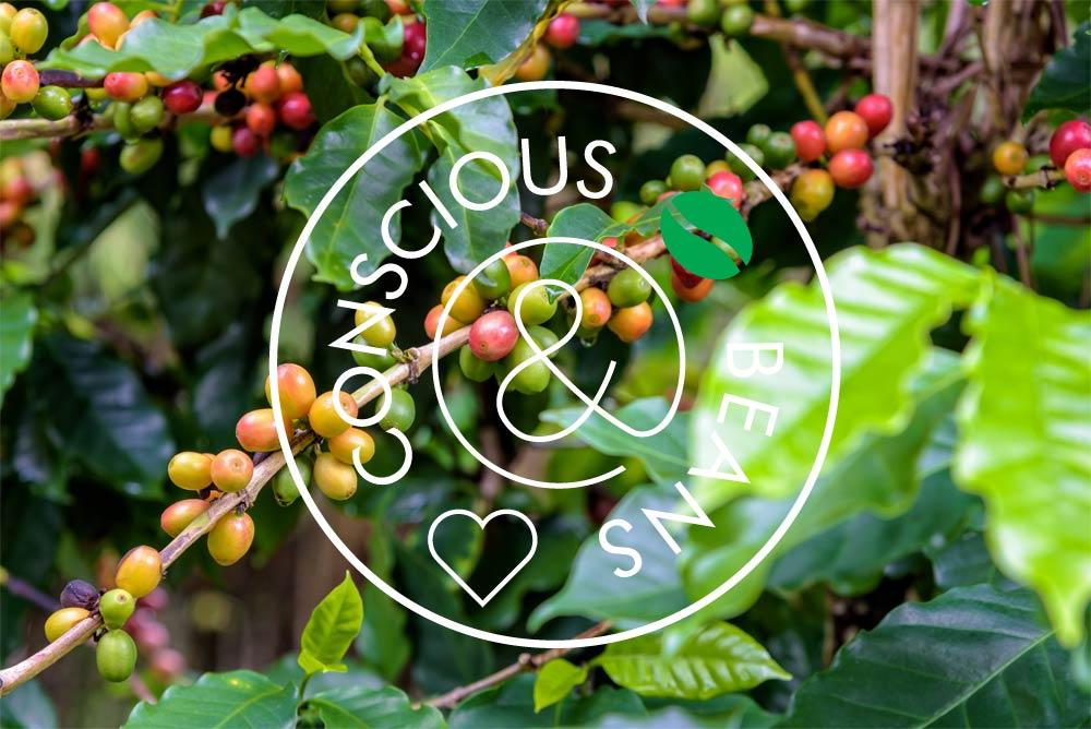 De koffiebonen aan een koffieplant op een koffieplantage.