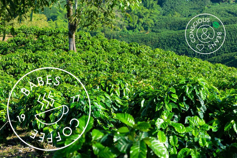 Een groen koffieplantage.